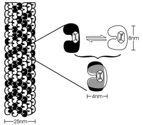 mircotubulos