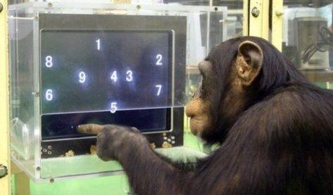Ayumu-smart-chimp