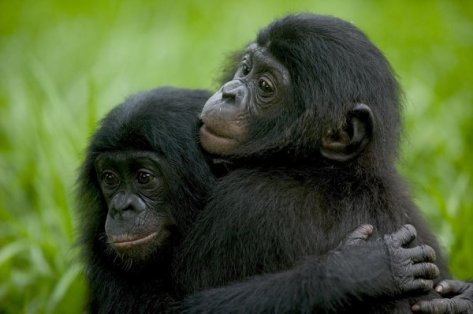 bonobo-orphans
