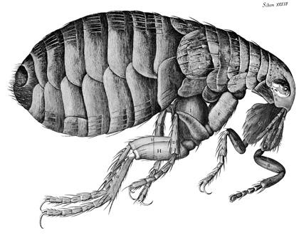 illustration-flea-Robert-Hooke-Micrographia
