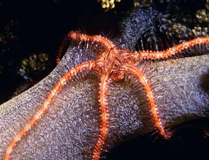 brittlestar-clr