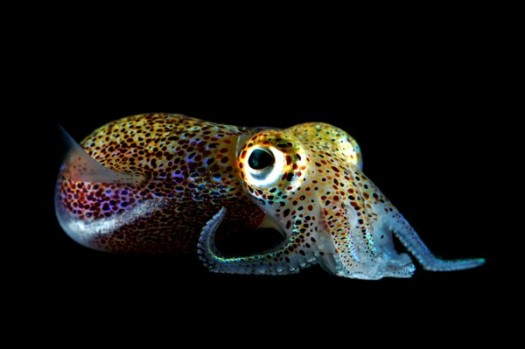 squid-bobtail