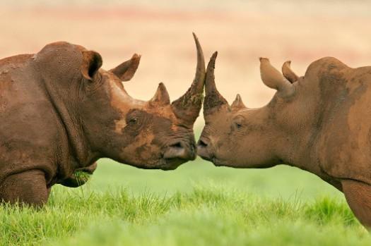 two-rhinos